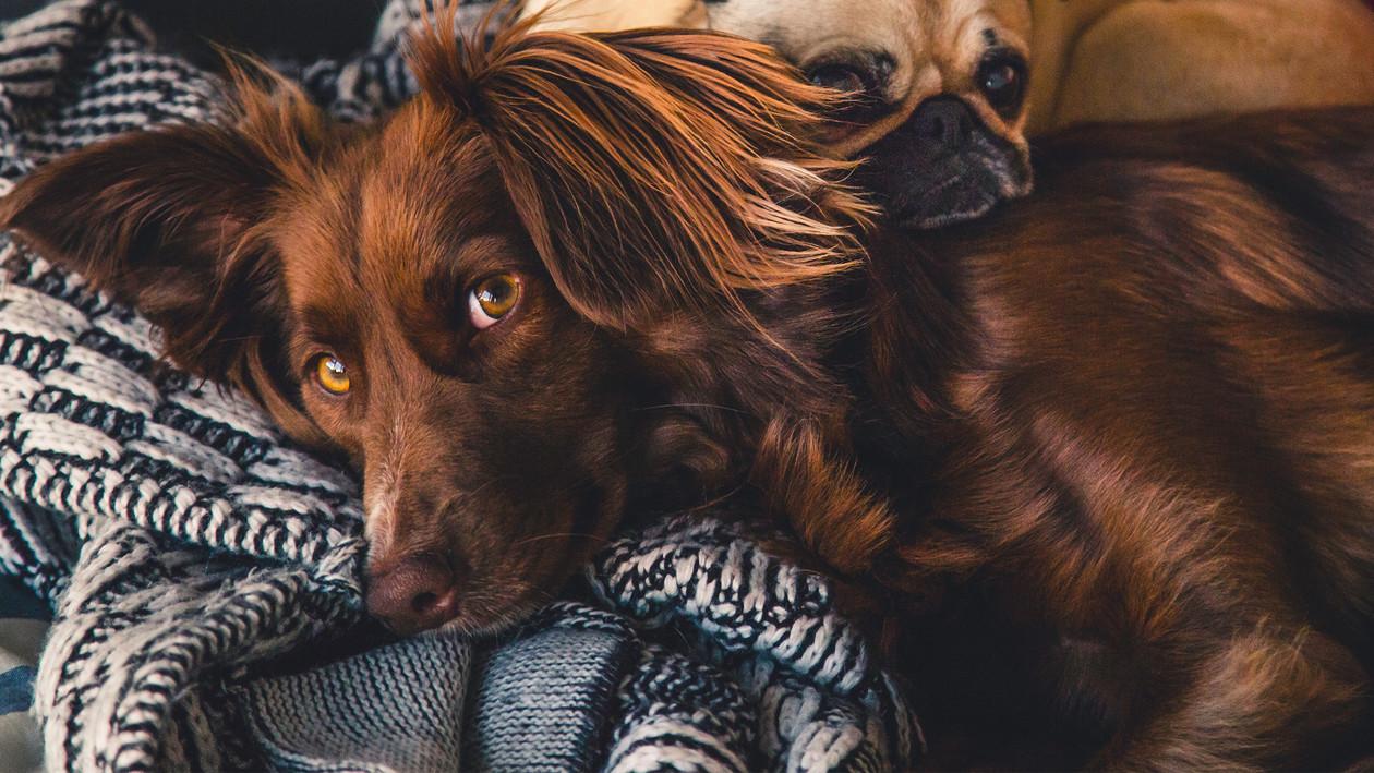 Hundehaare von decken entfernen saubere gemütlichkeit